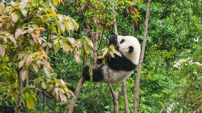 A photograph of a panda in a tree.